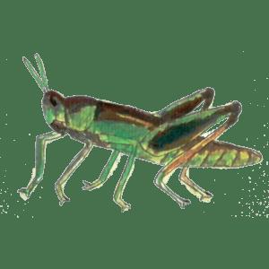 Chameleon food