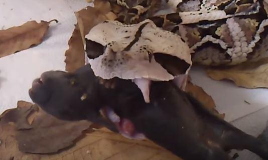 caracteristicas de la vibora de gabon comiendo