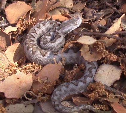 serpiente sacre