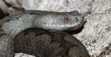 vipera ammodytes subspecies