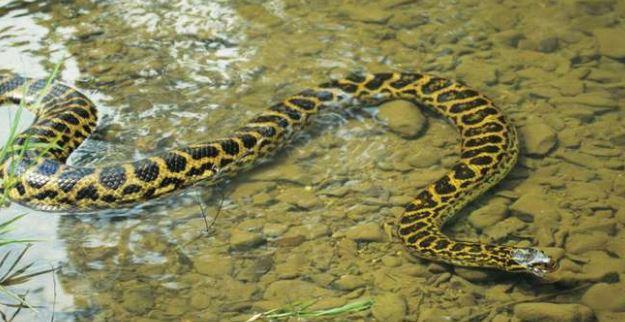 información anaconda amarilla