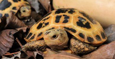 Indotestudo forstenii o tortuga del Sulawesi pequeña