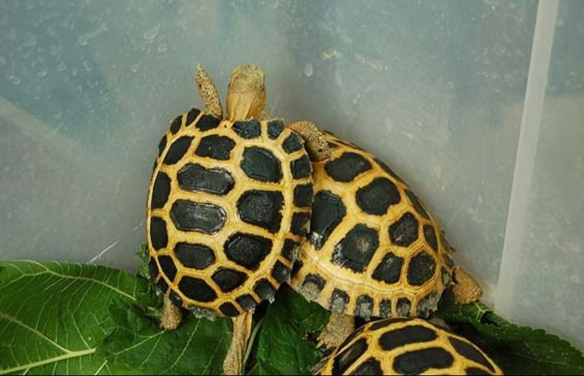 Indotestudo forstenii o tortuga del Sulawesi