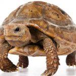 La tortuga de cabeza amarilla (Indotestudo elongata)