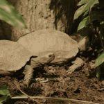 Manouria emys o tortuga oscura de Birmania