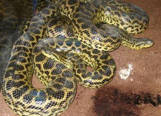 anaconda veneno