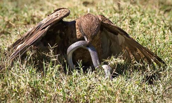 aves rapaces cazando boas