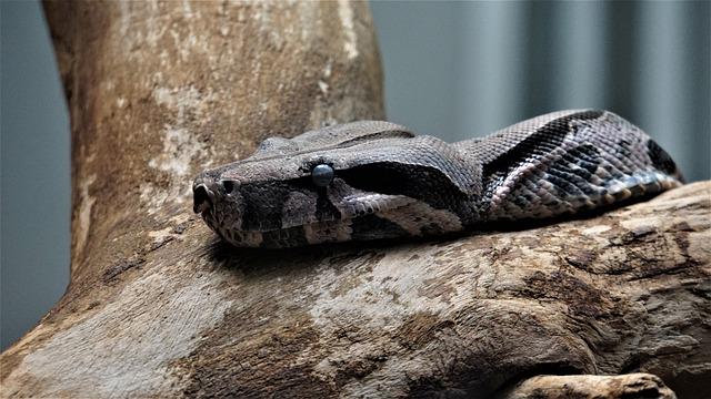 comprar serpientes boas