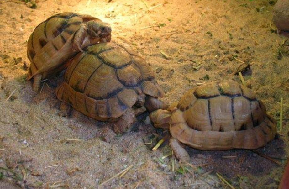 copula de tortugas de tierra egipcias