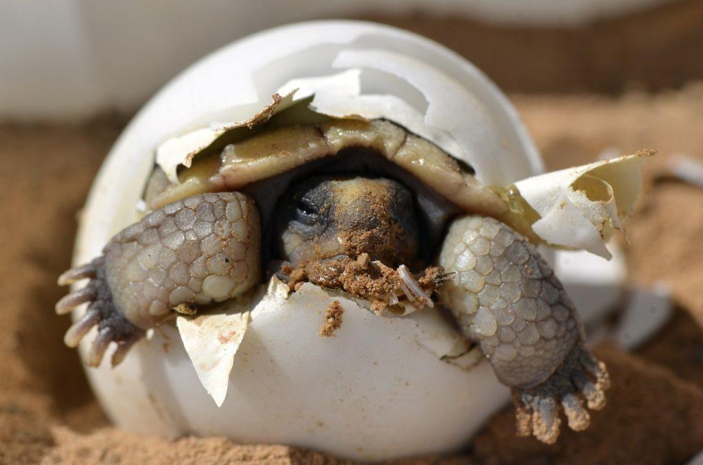 nacimiento de tortuga terrestre