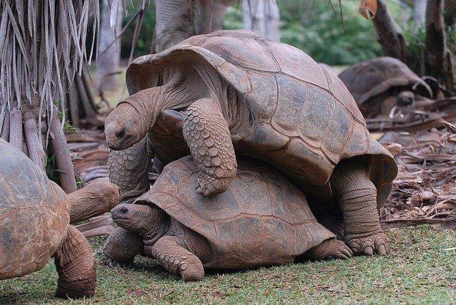 apareamiento tortuga terrestre