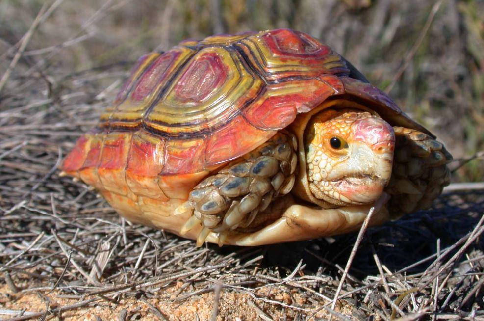 homopus areolatus tortuga