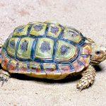 homopus areolatus habitat tortuga