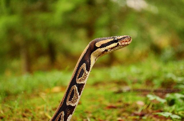 la boa serpiente