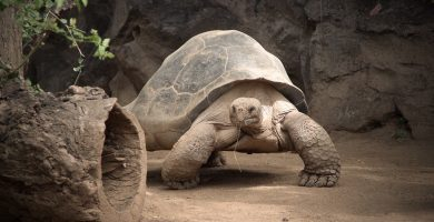 tortuga terrestre gigante
