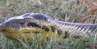 serpiente anaconda amarilla en entre rios