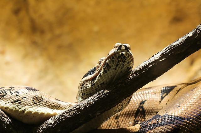 serpiente boa caracteristicas