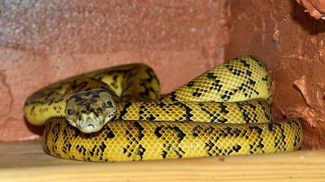 serpiente boa fotos