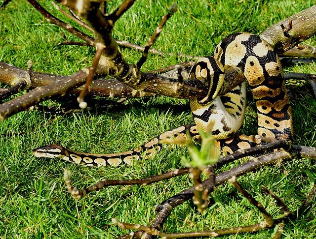 serpiente boa gigante