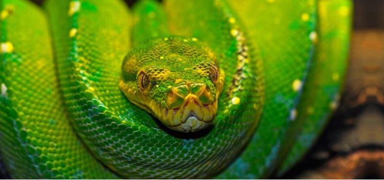 serpiente boa verde