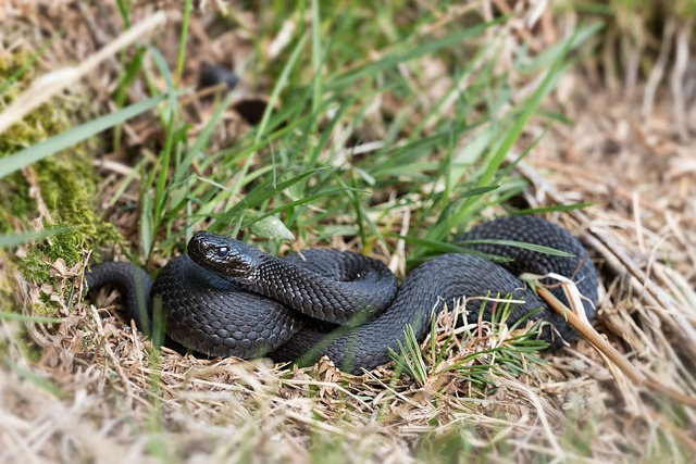 serpiente comun europea