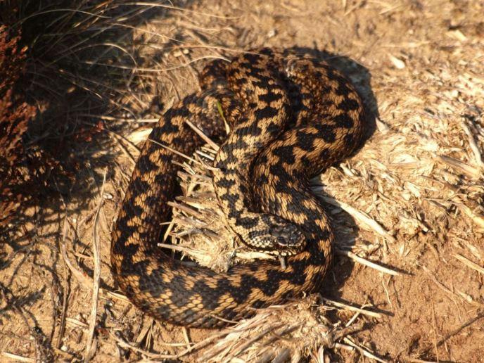 serpiente de europa