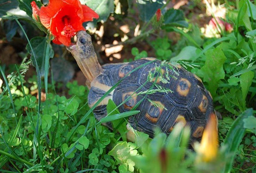 tortuga angulada comiendo