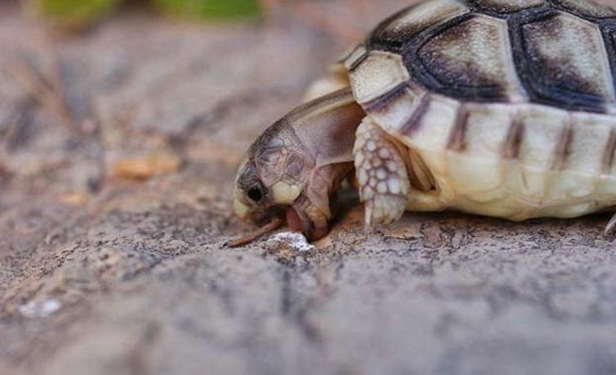 tortuga del peloponeso testudo marginata comiendo