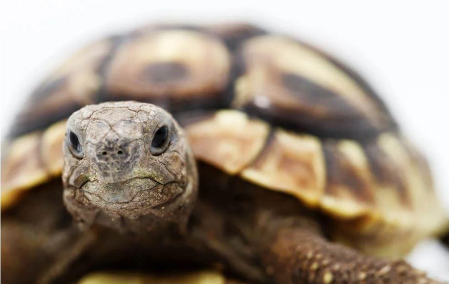 tortuga mora de tierra
