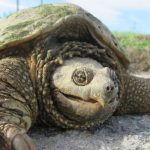 tortuga mordedora gigante