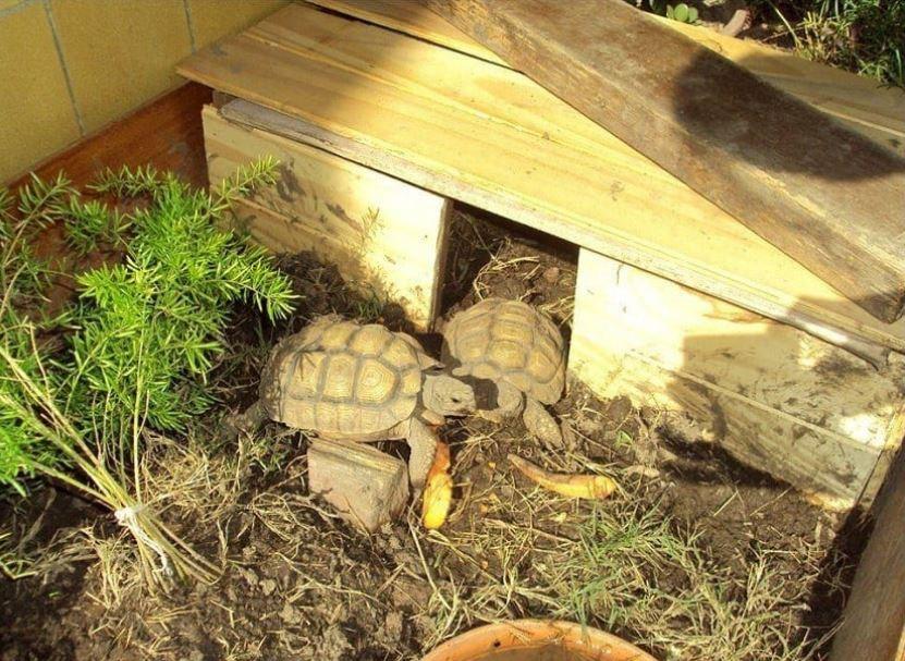 tortugas de tierra terrario características