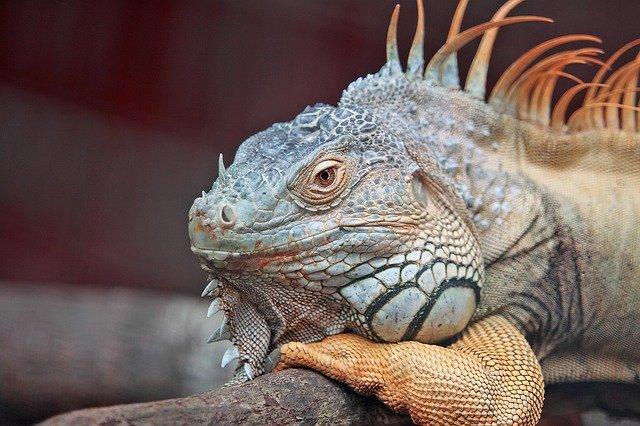 triton reptiles