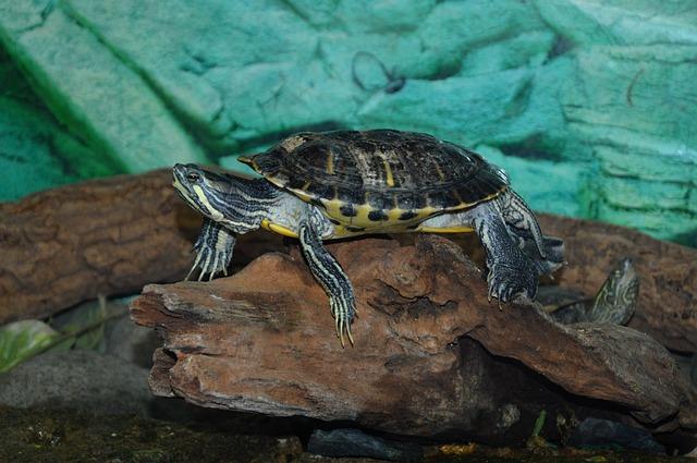 compra tortuga pequeña de tierra en casa